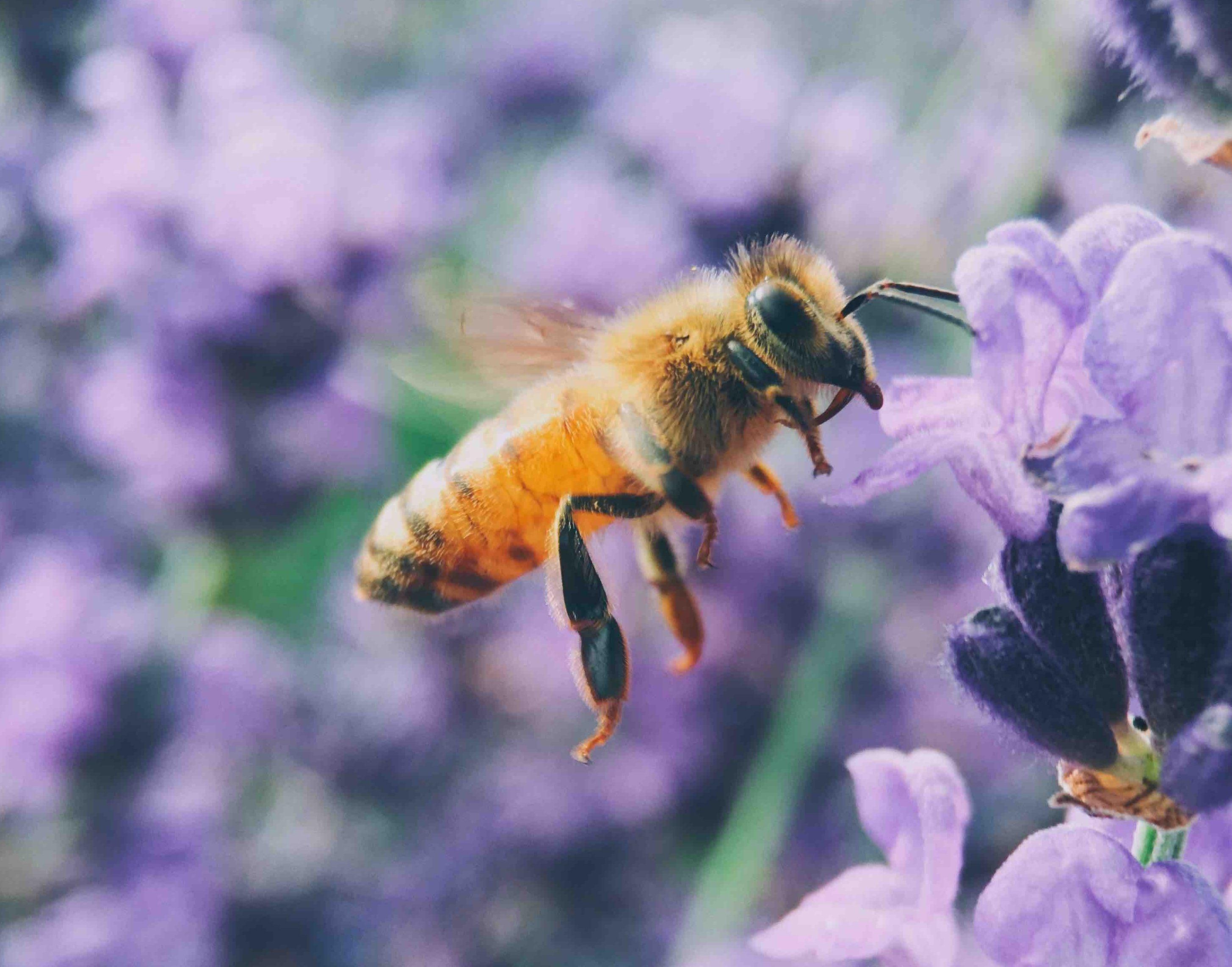 Sauvons Maya protège les abeilles -Unsplash - Aaron Burden